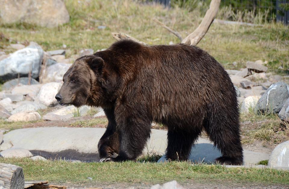 orsi nel trentino