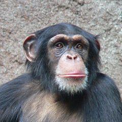 scimpanze e alzheimer