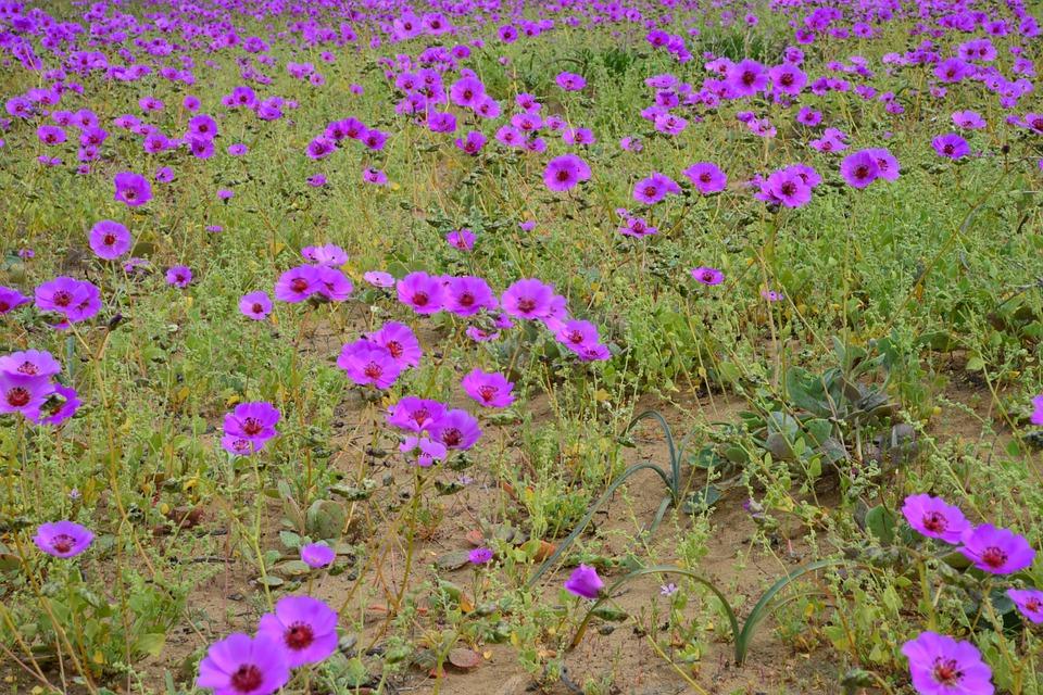 deserto fiorito